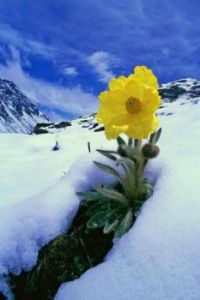 Flower in Snow