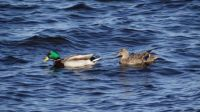 Mallards Lake Champlain