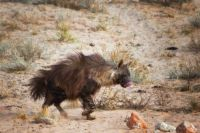 Brown Hyena  brown hyena (Hyaena brunnea) by Mareo Moreno