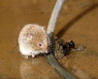 Vole in canal