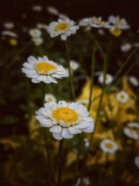 Lost in the Daisy's