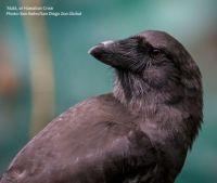 Alalā or Hawaiian Crow