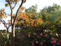 Autumn colour plus camellias