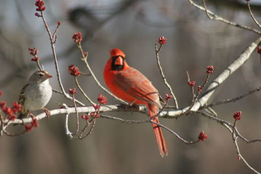 Male Cardinal and Sparrow