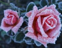 Frosty Roses