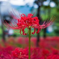 Spider Lily or Hurricane Lily