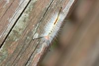 Tussock Moth Caterpillar 3