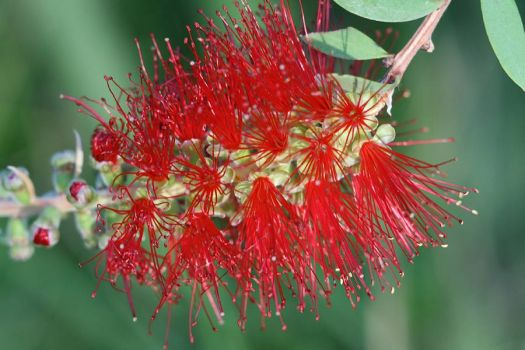 Bottlebrush - Callistermon