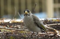 Noisy Miner on garden shed roof.