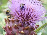 Cardoon flower with bees