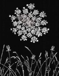 My ink drawing of a Queen Anne Lace