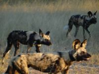 Painted Dogs . Zimbabwe