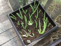 Green Onions in the Planter