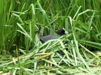 A coot on her nest. 20. June 2021