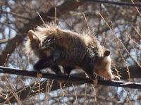 "Opossum ""Walking the Line"""