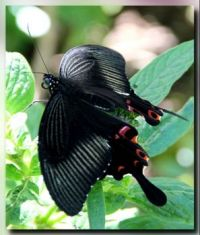 Female Common Mormon of romulus form butterfly