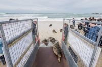 Grey Seals being released in Cornwall