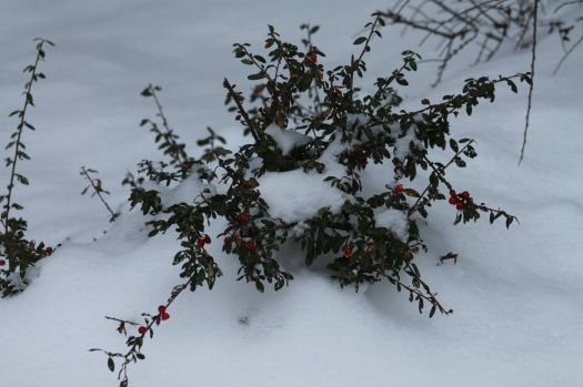 Winters Holly