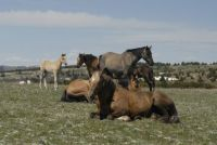 PRYOR MOUNTAINS    BOLDER RESTING WITH HIS FAMILY