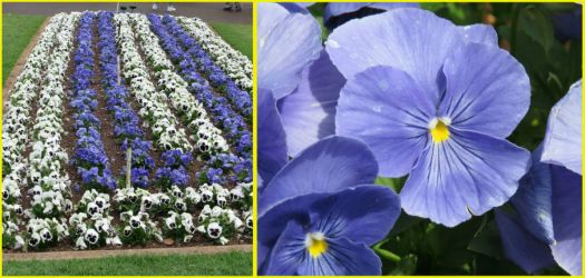 Pansies by the hundred..