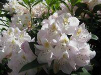 rotodendron