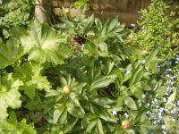 Garden - Flowers - Peonies 2