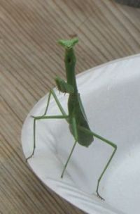 Praying Mantis Staredown