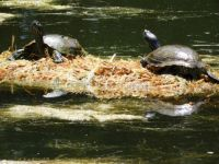 Turtles Sunbathing