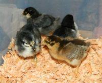 Chicks 2 22 14