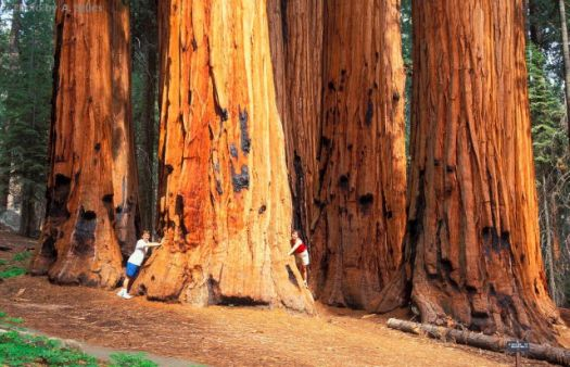 'Massive trunks of the Sequoias'..