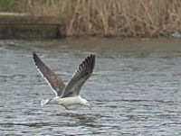Herring Gull about to pounce.