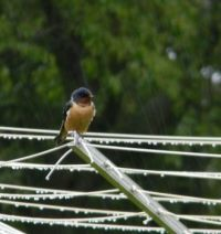 Barn Swallow Rain
