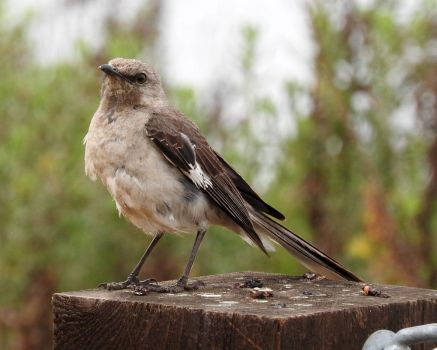 Mockingbird, Grand Avenue Bridge, Del Mar, California