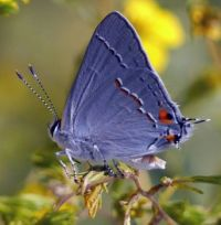 Common Blue butterfly, U.K.