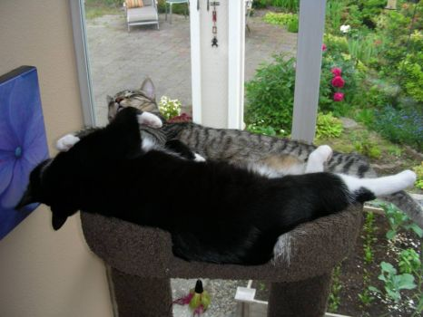 Theme - Cats:  Tux and Bean, 10 months old and still trying to cuddle but getting too big for the top of their tree!