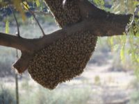 Bee swarm resting in our tree (two years ago)