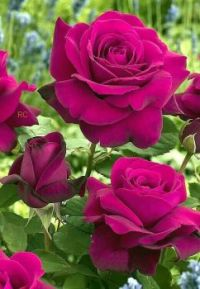Beautiful Vibrant Coloured Rose.