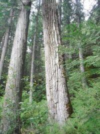 Cottonwood tree.   Glacier National Park, Montana, USA  McDonald Creek, Johns Lake trail