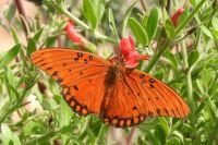Gulf Fritillary Butterfly on Autumn Sage, San Dieguito County Park, Solana Beach, California