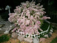 My Weigela bush in full bloom