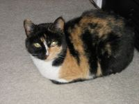 my calico cat