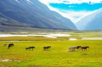 Horses of Suru Valley, Ladakh, India