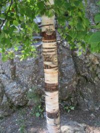 Birch @ Mt. Rushmore