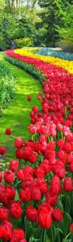 Holland's tulips