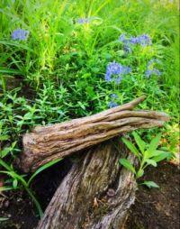 Blue Phlox in a wild little corner of the garden