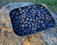 Harvest time - blueberries
