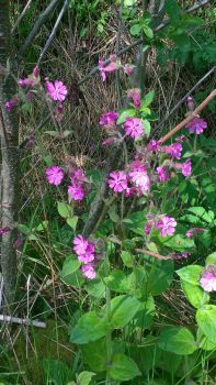 Red campion in flower.