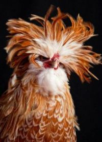 Redhead Rooster