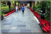 Poinsittias at Greenbelt Malls Garden