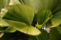 Fan Palms, Chiang Mai, Thailand